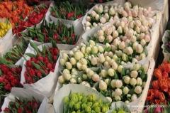 amsterdam-tulpen