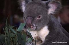 australien-koala-baer