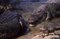 australien-krokodile