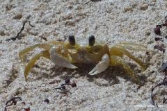 Krabbe Barbados