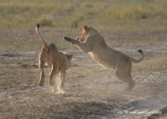 botswana-chobe-nationalpark-loewen