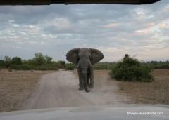 botswana-elefant-angriff