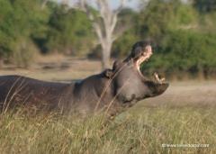 botswana-flusspferd-nilpferd