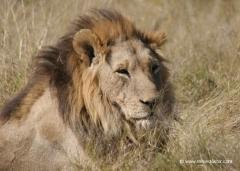 botswana-loewe