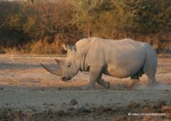 botswana-nashorn