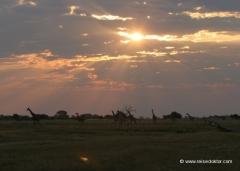 chobe-botswana-giraffen