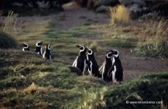 chile-pinguine