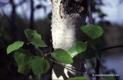 finnland-baeume