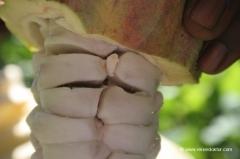 grenada-kaokao-frucht