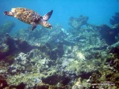 karibik-unterwasser-schildkroete