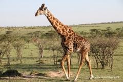 giraffa-masai-mara