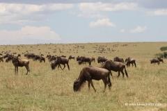 gnuwanderung-masai-mara