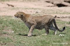 leopard-kenia-masai-mara