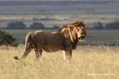 masai-mara-loewe-kenia