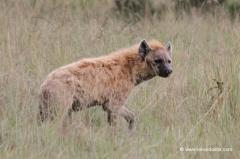 tueppfelhyaene-kenia