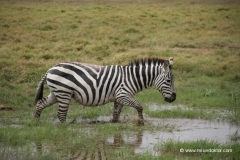 zebra-amboseli-nationalpark