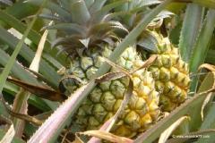mauritius-ananasplantage