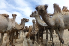 kamele_mongolei