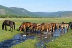 mongolei_pferde