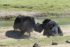 yaks-mongolei