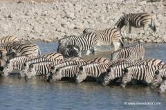 ethosha-nationalpark-zebras