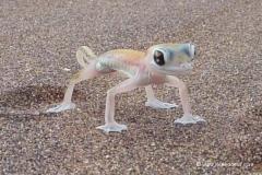 wuesten_gecko