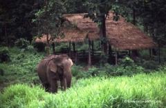 thailand-elefanten
