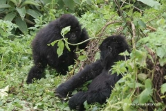 berggorillas-ruanda