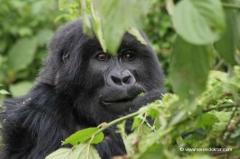 ruanda-berggorilla-wanderung