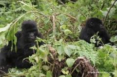 ruanda-berggorillas