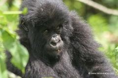 studienreise-berggorillas