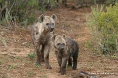 suedafrika-hyaenen