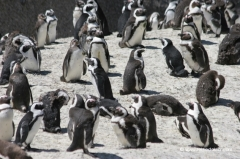 suedafrika-pinguine