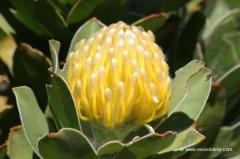 suedafrika-protea