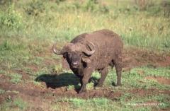 bueffel-suedafrika