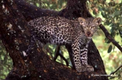 junger-leopard-suedafrika