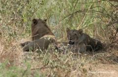 suedafrika-loewen