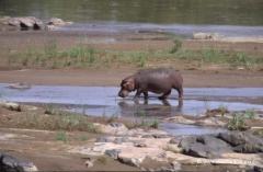 suedafrika-nilpferd