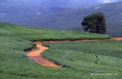 suedafrika-teeplantage