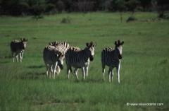 suedafrika-zebras