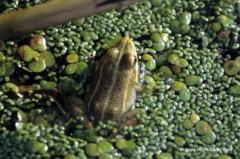 frankreich-frosch