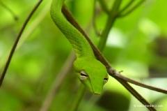 gruene-peitschennatter