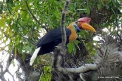 hornvogel-sulawesi
