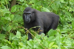 makaken-sulawesi