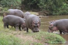 uganda-flusspferde