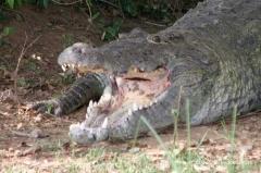 uganda-krokodil
