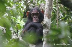uganda-schimpansen