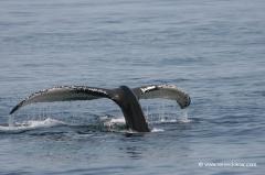 buckelwale-boston
