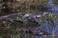florida-alligatoren