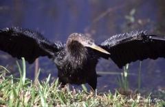 kormoran-florida